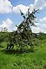 Apfelbaum_2